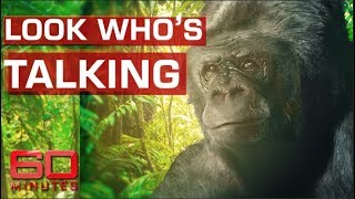 Koko the talking gorilla | 60 Minutes Australia
