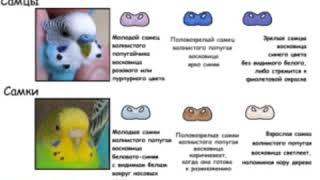 Как определить пол волнистого попугая ♂️🐦♀️?