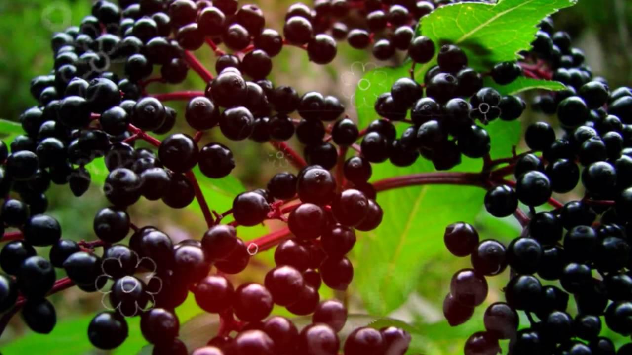 Бузина польза и вред // можно ли есть ягоды бузины, бузина красная .