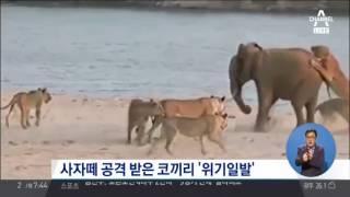 사자떼 공격 받는 코끼리, '14대 1' 승리