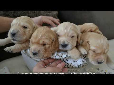 Открыт резерв на щенков золотистого ретривера фото 2 недели