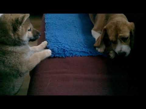 Beagle & shiba inu