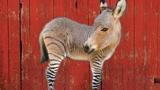 THE ZONKEY - HYBRID ANIMALS