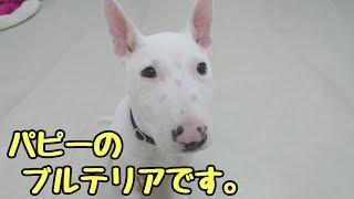 """初めてのわんちゃん、柴犬の""""成くん""""とパピーのブルテリア""""てるおくん""""..."""