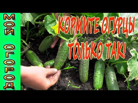 Подкармливайте огурцы только таким способом, чтоб получить высокий урожай!