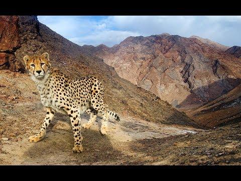 Documentary : ( Iranian cheetah )  مستند «اشباح بیابان» يوزپلنگ ايراني Iran