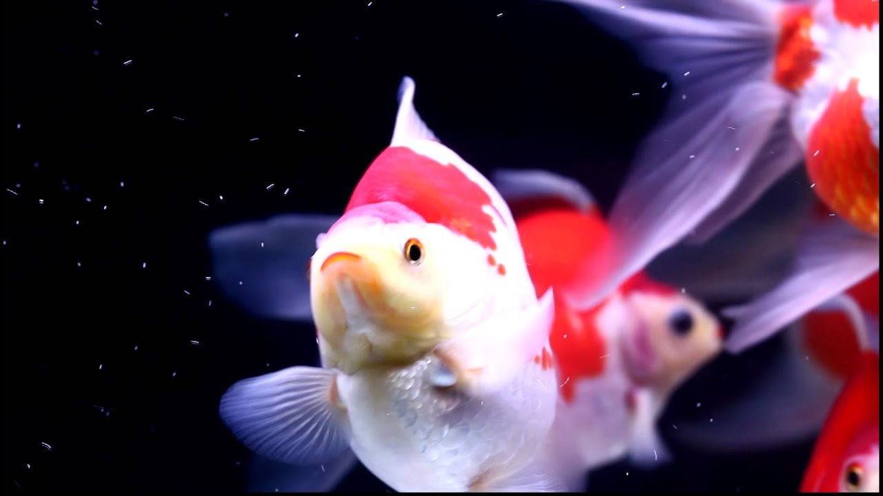 imperial goldfish - photo #16