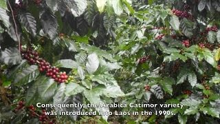 The Golden Land [coffee story of Bolaven Plateau, Laos]
