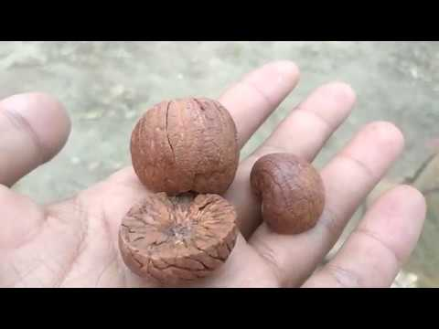 Arecanut Processing (Betel Nut) - How its Made?  (Supari) - Livelihood : Income Generation