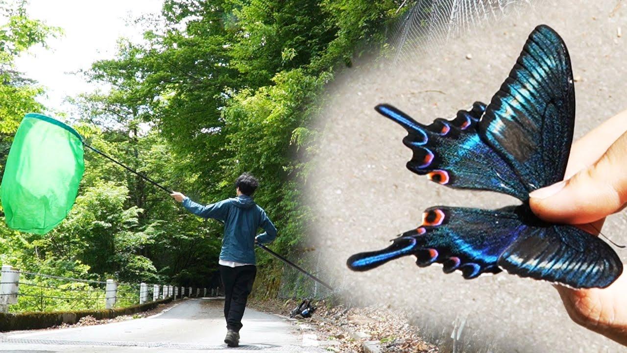 【昆虫採集】ミヤマカラスアゲハを採集する!【虫取り】