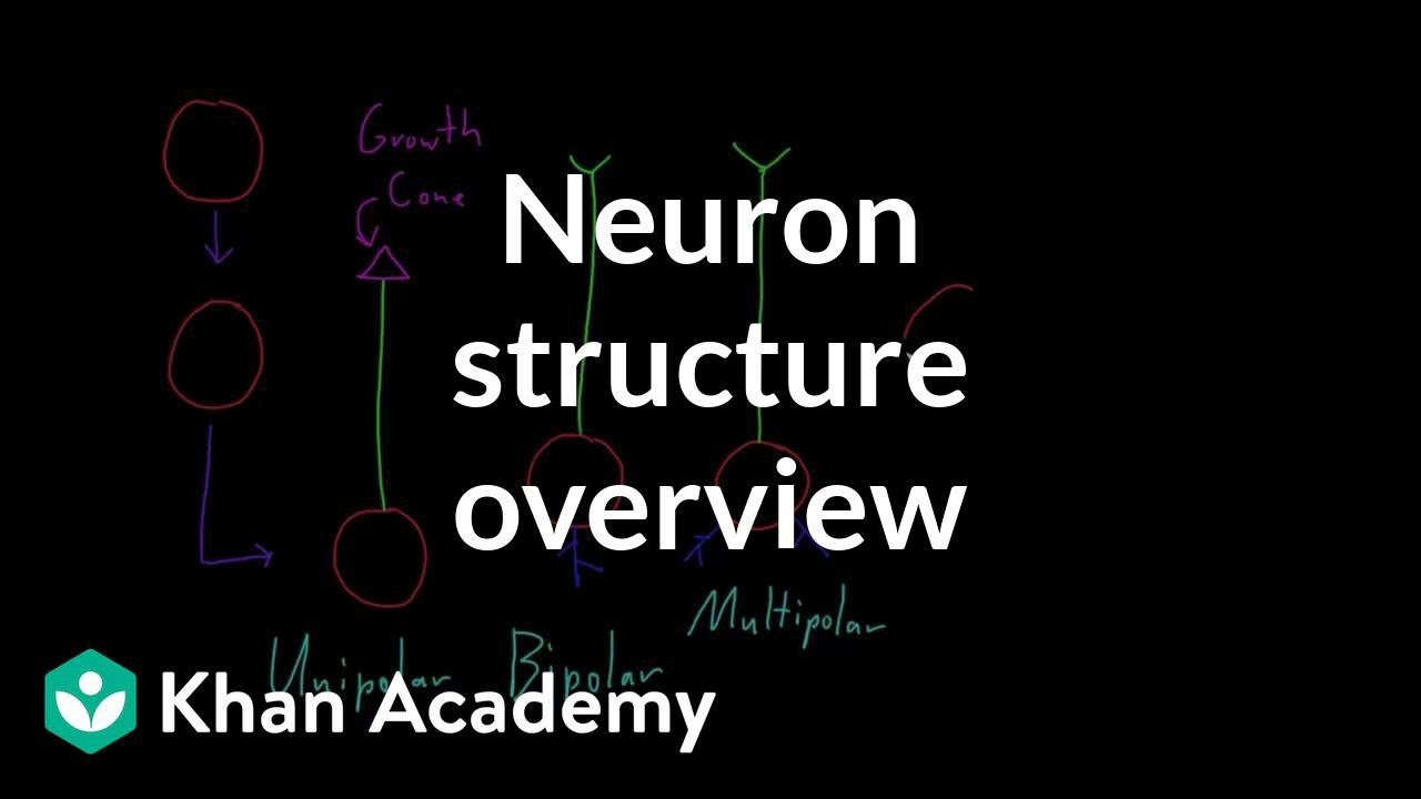 Overview of neuron structure (video) | Khan Academy