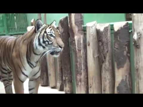 Malayan Tiger (Panthera tigris jacksoni) Prague Zoo טיגריס מלאי