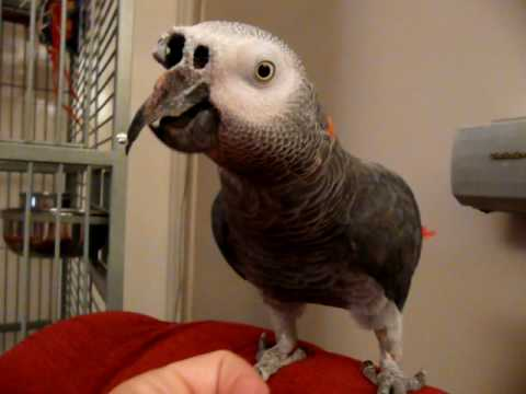 Henry (READ LINK IN DESCRIPTION) my 45 year old African Grey parrot