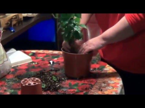 Кофе. Как Выращивать Кофейное  Деревце Дома. полные рекомендации по Уходу За Кофе