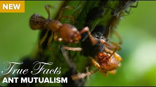 True Facts : Ant Mutualism thumbnail