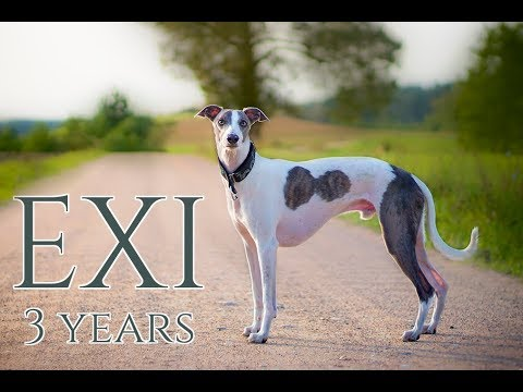 Exige the Whippet 3 years - tricks and fun