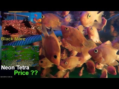 Parrot Fish Price ক ট বন Neon Tetra And Black More