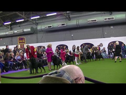 Rottweiler Westminster dog show 2017 a