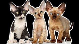 德文卷毛貓百科&科普 關于這只淘氣的精靈貓你需要知道的一切 AKA 德文帝王貓