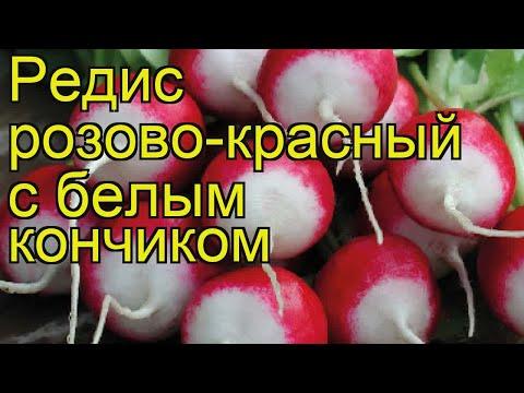 Редис Розово-красный с белым кончиком. Краткий обзор, описание Rozovo-krasnyy s belym konchikom
