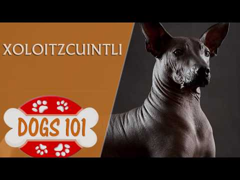 Dogs 101 - XOLOITZCUINTLI- Top Dog Facts About the Xoloitzcuintli