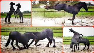 Are they fighting or playing? 2 Friesian horse colts. Daan and Dolf.