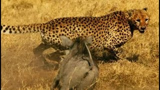 Attack lions, hyenas and cheetah - Craziest animal fights