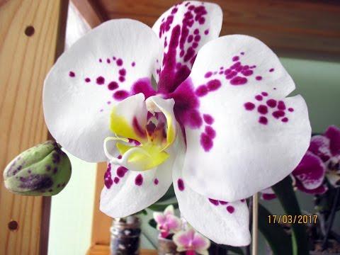 цветы архидея