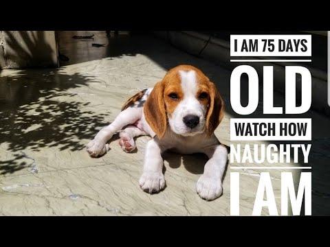 Beagle Puppy Nature & Behavior. Funny Video
