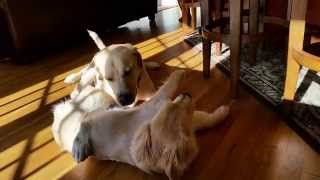 Baby Golden Retriever Puppy Dog Fights Adult Lab