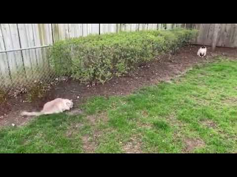Outside with Ragdoll Cats Charlie and Chiggy: Vlogging LIVE Day 9