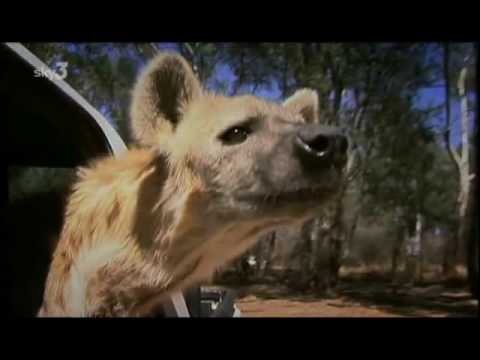 Captive Lions meet captive Hyena