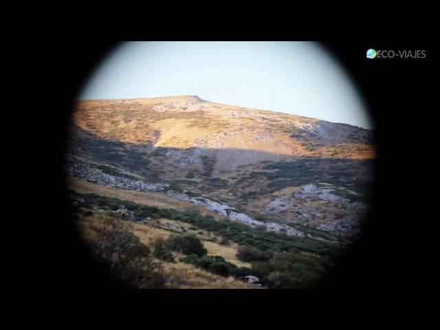 La Berrea en el Parque Natural de Fuentes Carrionas y Fuente Cobre