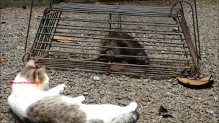 Brave cat lying near a very big, scary and loud sound making rat