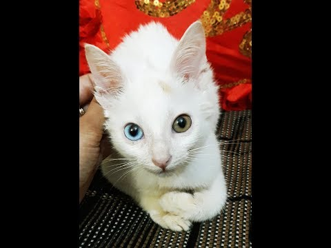 Rare Cat Breed With Two Different Colour Eyes | Meet 'Eye-Catching' Cat