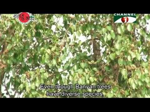Nature and Life   Episode 128 (Banyan and Fig)