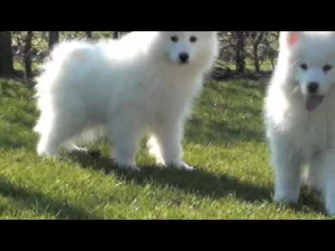 samojeed pups - youtube