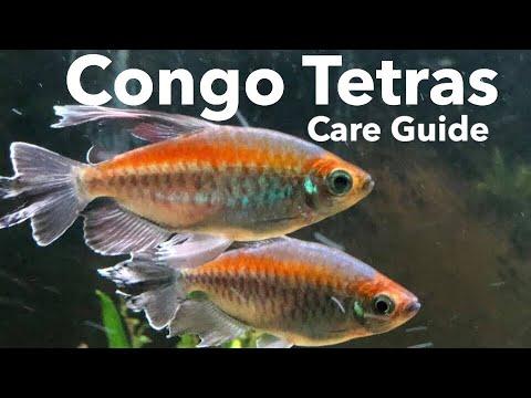 Congo Tetra Fish Care - Semi Aggressive