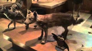日本狼 ニホンオオカミ 剥製 東京 上野 国立科学博物館