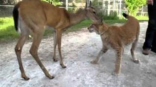 Deer and Lynx Eternal Friends