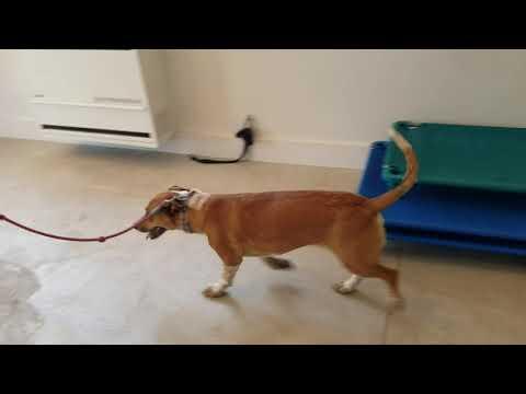 introducing-a-dog-to-a-prong-collar