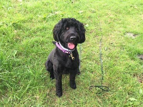 Missy - Russian Black Terrier - 3 Week Residential Dog Training