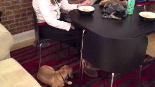 Demonstrating How to Teach A Puggle Puppy Basic Obedience