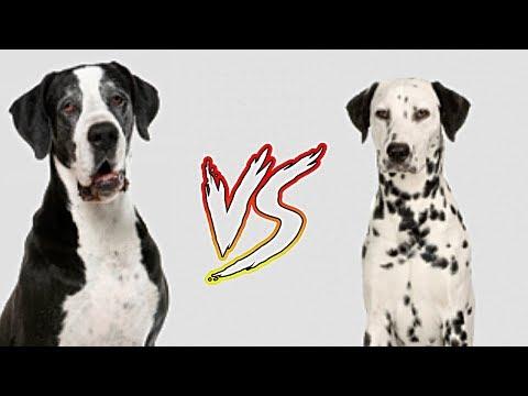 Great Dane vs Dalmatian | Dog Comparison in Telugu | Taju logics