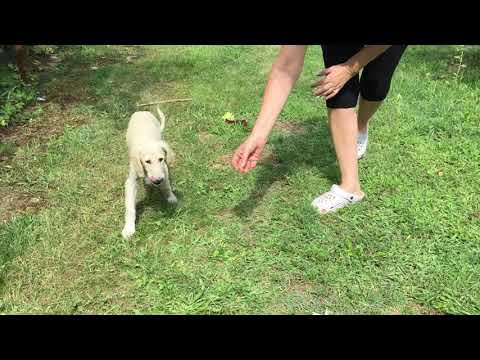 Penny - Saluki Puppy for sale