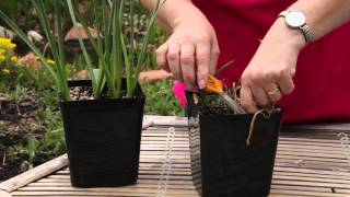 How to Cut Back Potted Tulips : Grow Guru