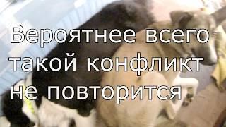 Бой собак за еду  Бордер колли vs хаски / Border-collie VS Husky