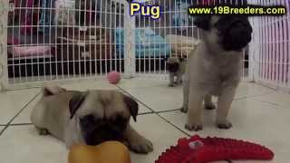 Pug, Puppies, Puppies, For, Sale, In, Rio Rancho, New Mexico, County, Nm, Sandoval, San Juan, Mckinl