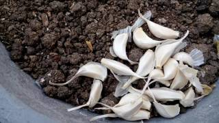 150 - How to grow Potatoes(Aalu) & Garlic(Lehesun) in poly bag & container (Hindi /Urdu) 26/9/16