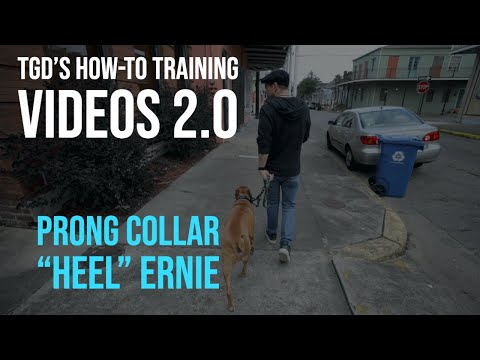 How-To Prong Collar 'Heel' - With Ernie